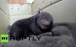 Vladivostok Circus Takes Care of Two-Week Old Asian Black Bear Cub