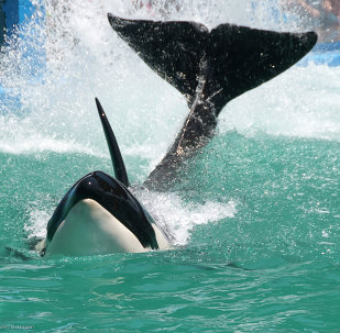 Lolita, the whale, has been living at the Miami Seaquarium since her capture off the northern Pacific Coast in 1970.