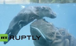 USA: See this newborn hippo learn how to swim