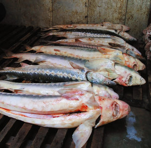 Sturgeon dying out due to lack of cooperation between Caspian states