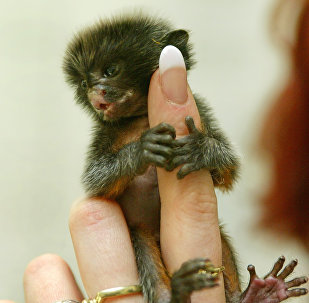 A ten-day old marmoset clutches the finger of zoo keeper Manuela Werner in the zoo in Wittenberg, eastern Germany, on Friday, April 23, 2004.