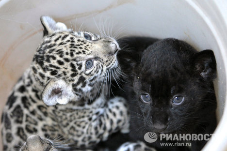 Jaguar triplets born at St. Petersburg Zoo