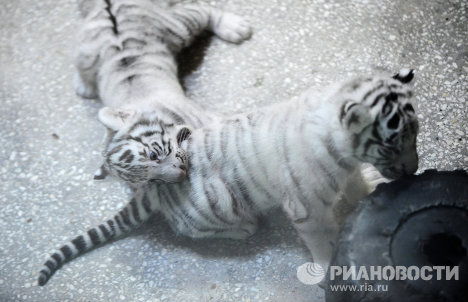 Three White Tigers Born in Yekaterinburg Zoo
