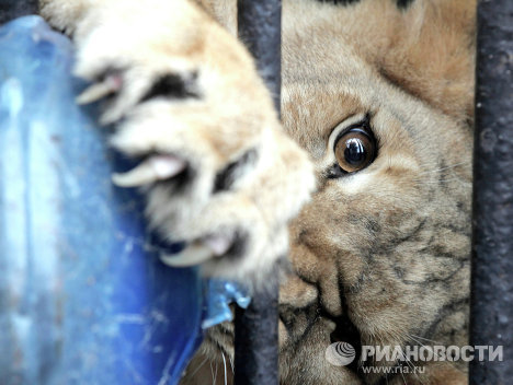 Lion's Mate Arrives at St. Petersburg Zoo.