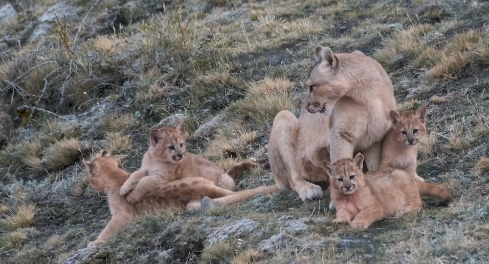 Puma Cubs Pounce Mother for Pre-Dinner Cleaning