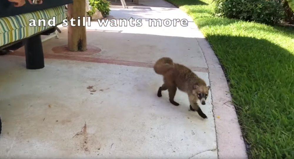 Not-So Cunning Coati Caught Stealing Tourist's French Fries