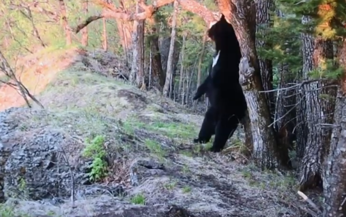 Delete This! Bear Caught on Camera Dancing, Wants to Destroy Evidence