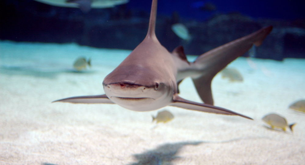 Sandbar shark, which is native to the Atlantic Ocean and the Indo-Pacific