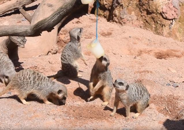 Lemurs, Meerkats Enjoy Frozen Treats Amid UK Heat
