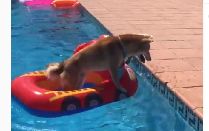 Must Stay Dry: Nervous Shiba Inu Tries to Enjoy Pool Party