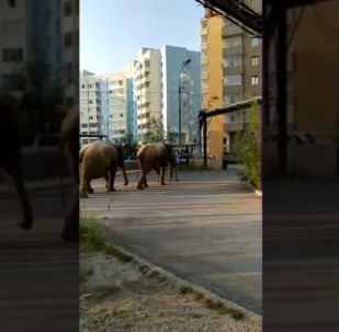 Walk elephants In Yakutsk