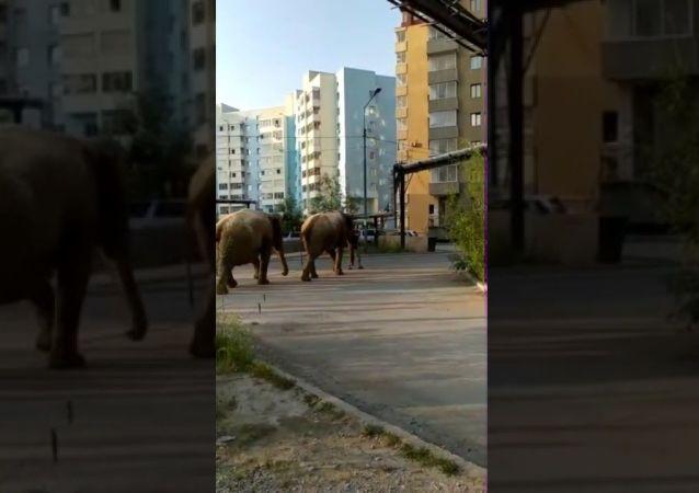 Walk elephants In Yakutsk