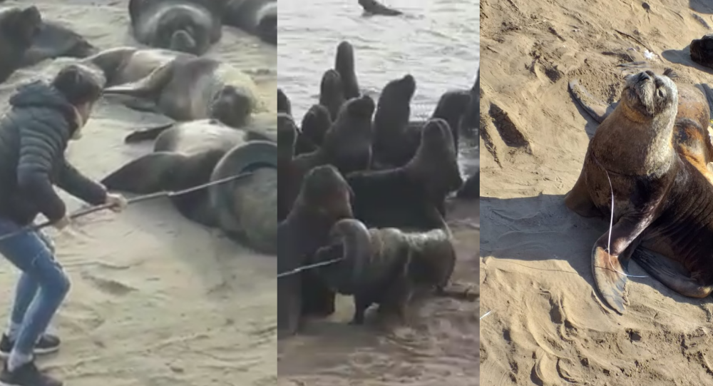 Brave Volunteer Removes Tire From Helpless Sea Lion's Neck