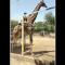 Man Rides giraffe