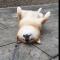 Shiba Inu Relaxing