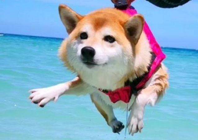 Shiba swimmingf