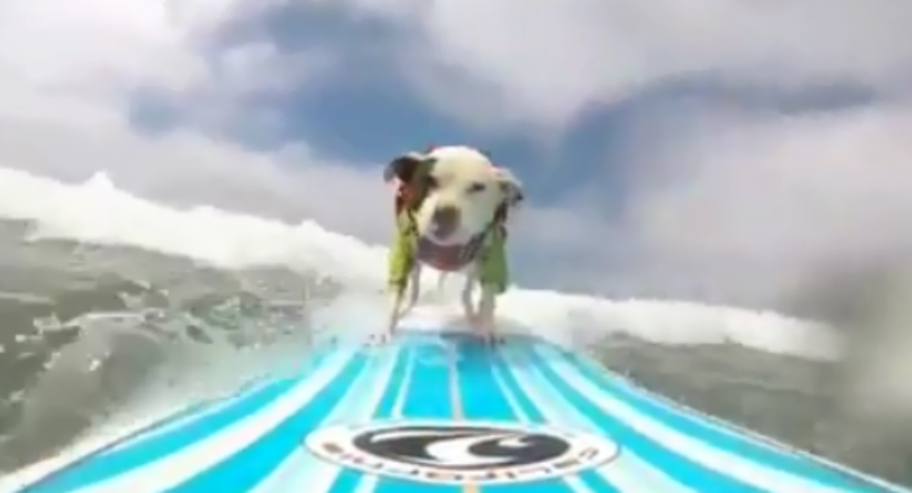 Surfing Pittie Gives Professional Surfers Lesson on Style