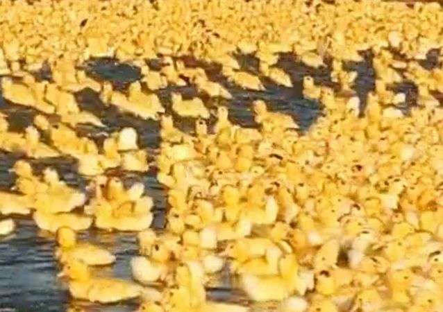 Army of Cute Baby Ducks Waddle To Pond