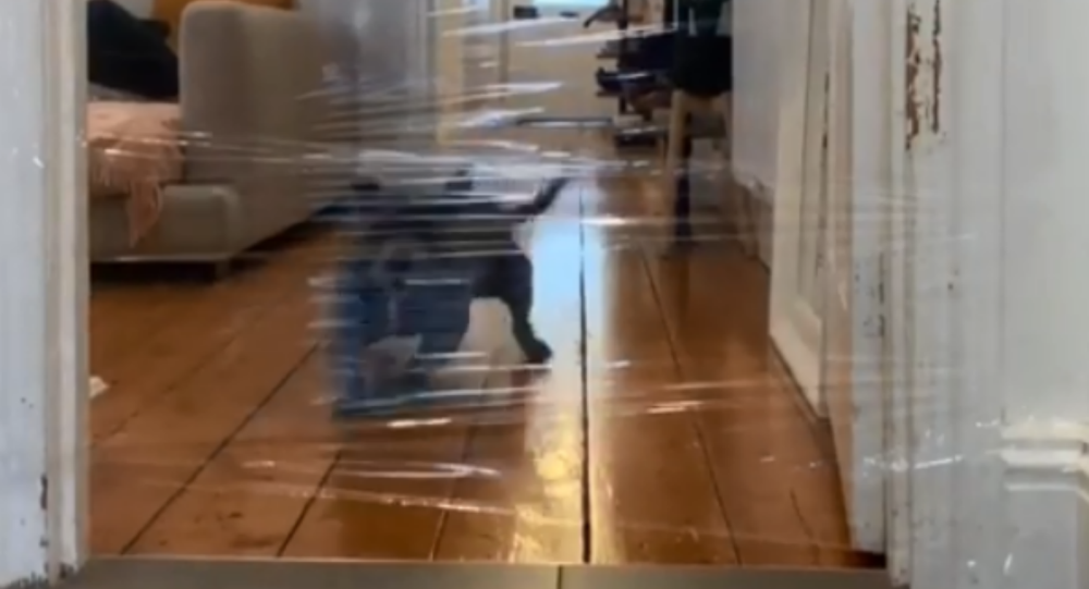 Silly Staffordshire Bull Terrier Gets Caught in Mom's Trickery