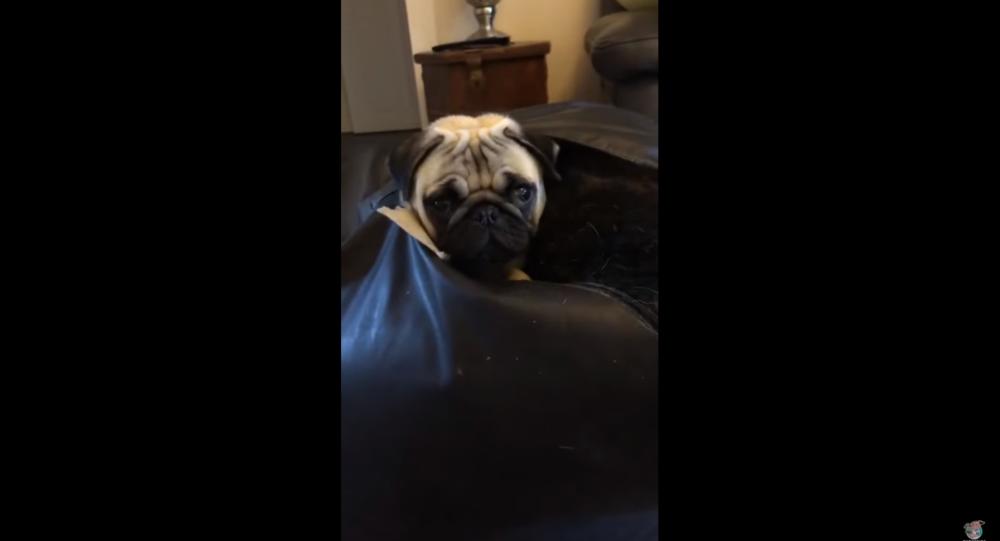 Marvelous Mischievous Pug Gets Stuck In Bean Bag Sputnik International Machost Co Dining Chair Design Ideas Machostcouk
