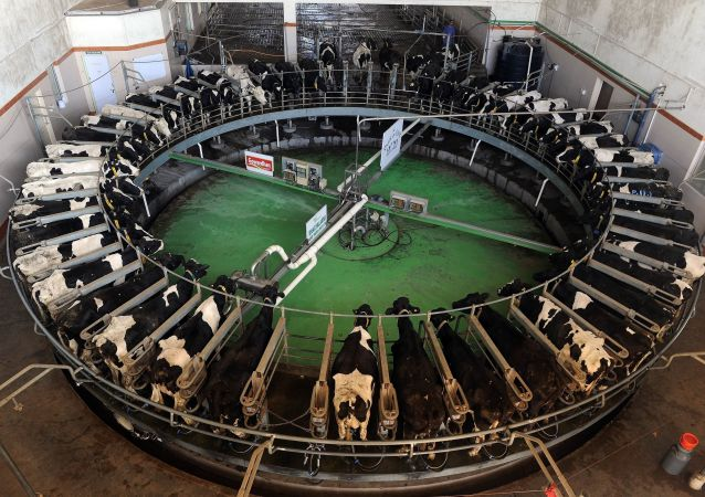 Holstein-Friesian breed cows are seen inside the rotary at the Bhagyalaxmi Dairy Farm located northeast of the Indian city of Pune on January 12, 2012
