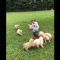 Golden Retriever puppies chase a boy