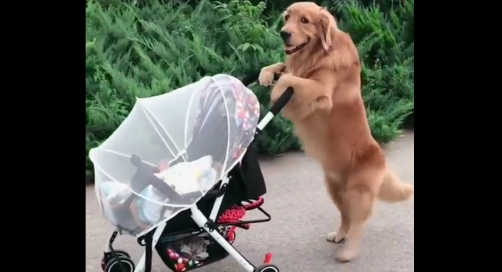 Golden Retriever and a Baby