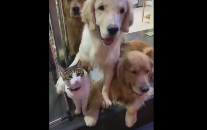 Stop Fooling Around! Serious Cat Angered by Three Hilarious Golden Retrievers
