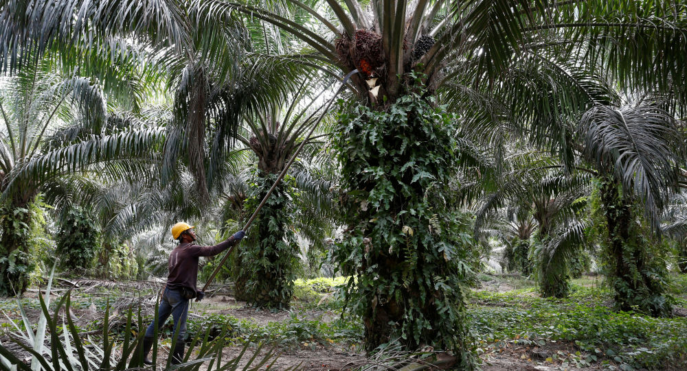 A worker collects palm oil fruits at a plantation in Bahau, Negeri Sembilan, Malaysia January 30, 2019