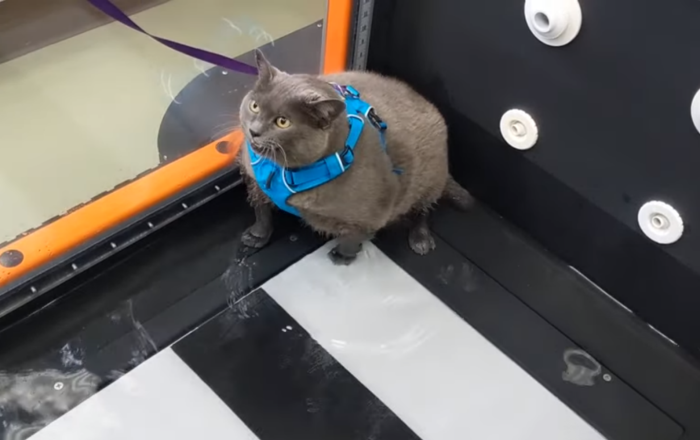Unfit Kitty Refuses to Hit the Gym