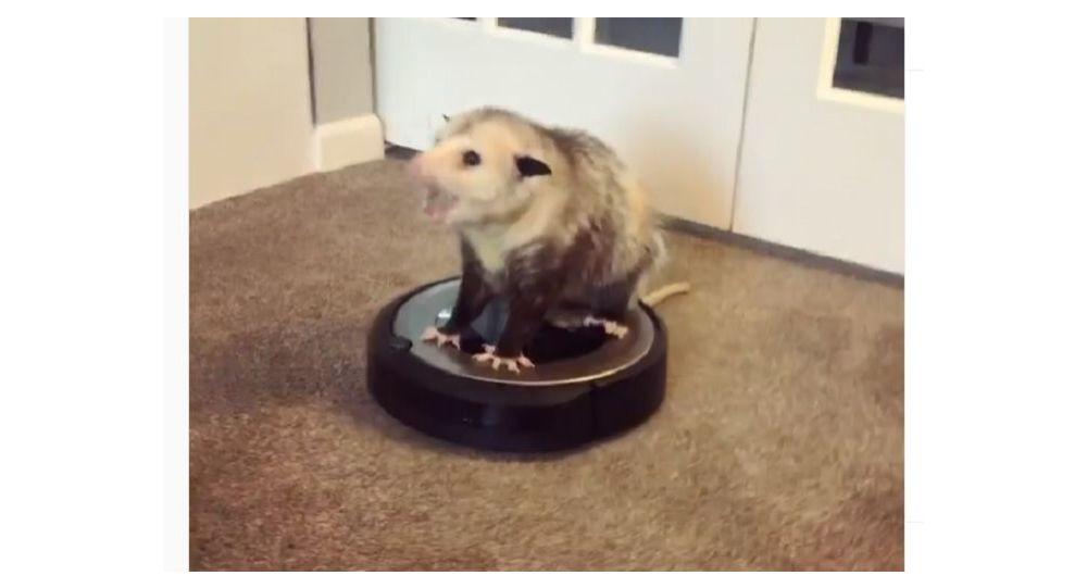 Opossum rides a vacuum cleaner