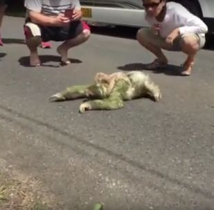 Mom Sloth crossing a street with her baby on the back
