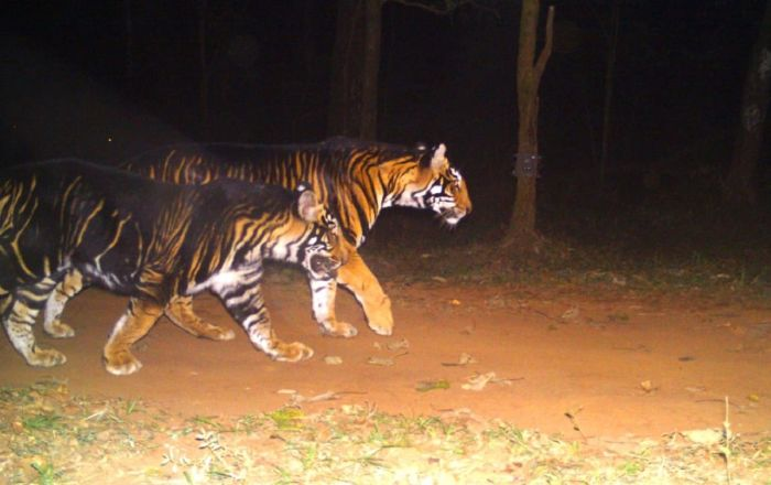 Meet Rare Broad Black-Striped Tiger Resembling 'Shere Khan' From 'The Jungle Book'