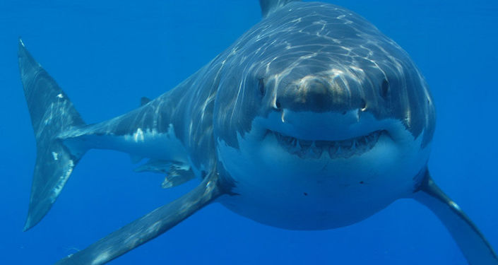 Sharks' 'Sixth Sense' Explains Their Life Within Active Submarine Volcano - Sputnik International