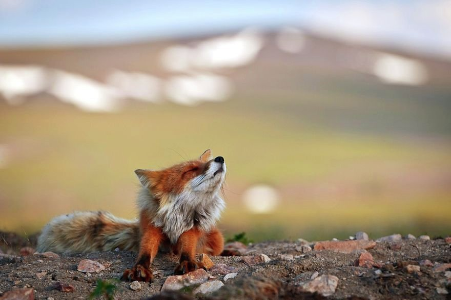 Fox in Chukotka