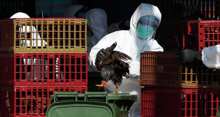 A workers (C) places a chicken in a bin during a cull in Hong Kong on December 31, 2014, after the deadly H7N9 virus was discovered in poultry imported from China