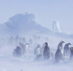 Glacier emperor penguin