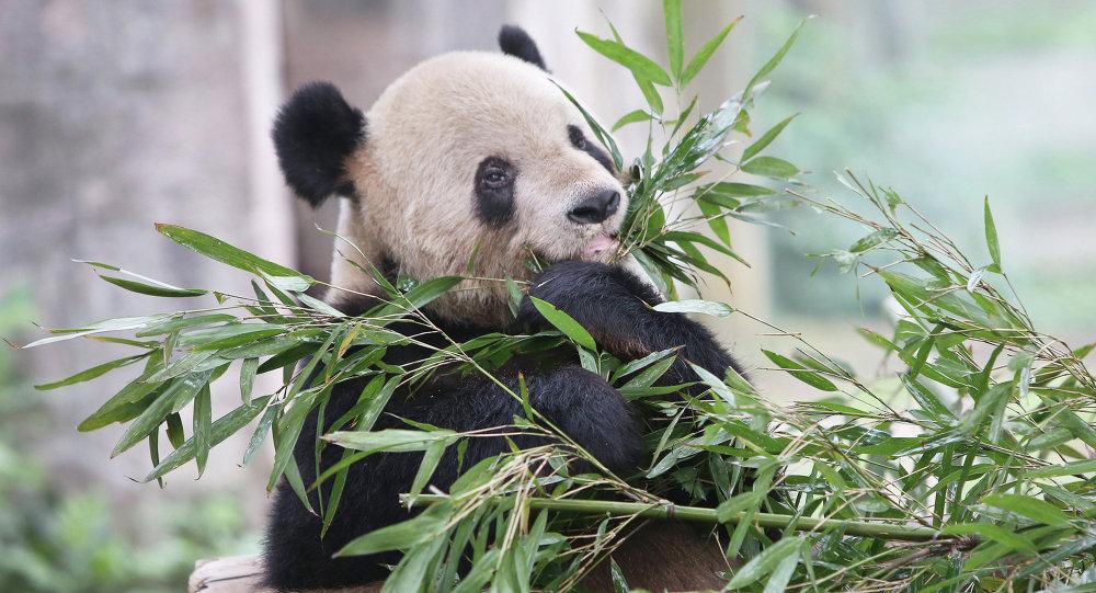 A giant panda in Chongqing Zoo, China.