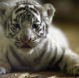 White tiger cubs born at Yekaterinburg Zoo