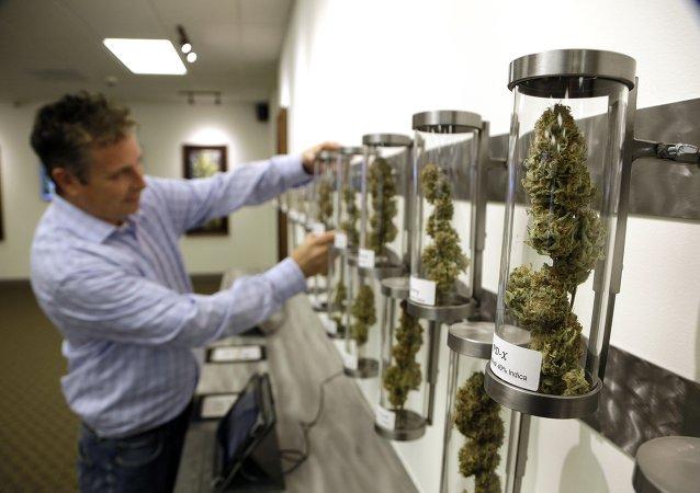 Shane McKee, co-founder of Shango Premium Cannabis medical marijuana dispensary, pulls a sample from their display of cannabis flowers in Portland, Oregon.