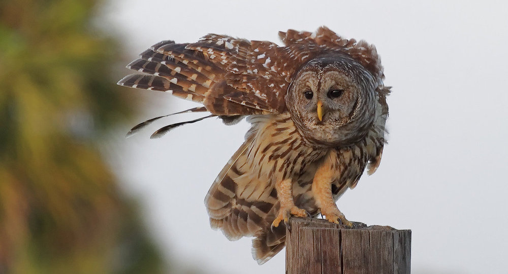 A barred owl, like that pictured here, is suspected in 4 aggressive attacks on joggers in a Salem, Ore. park. Two hats are missing.