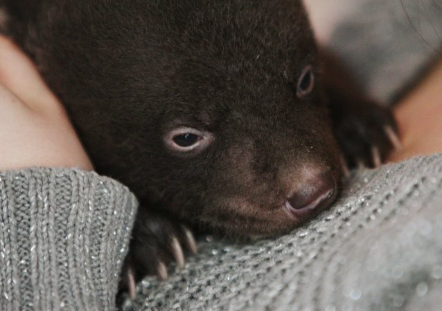 Newborn Asian Black Bear Cub Abandoned at Circus Doorsteps