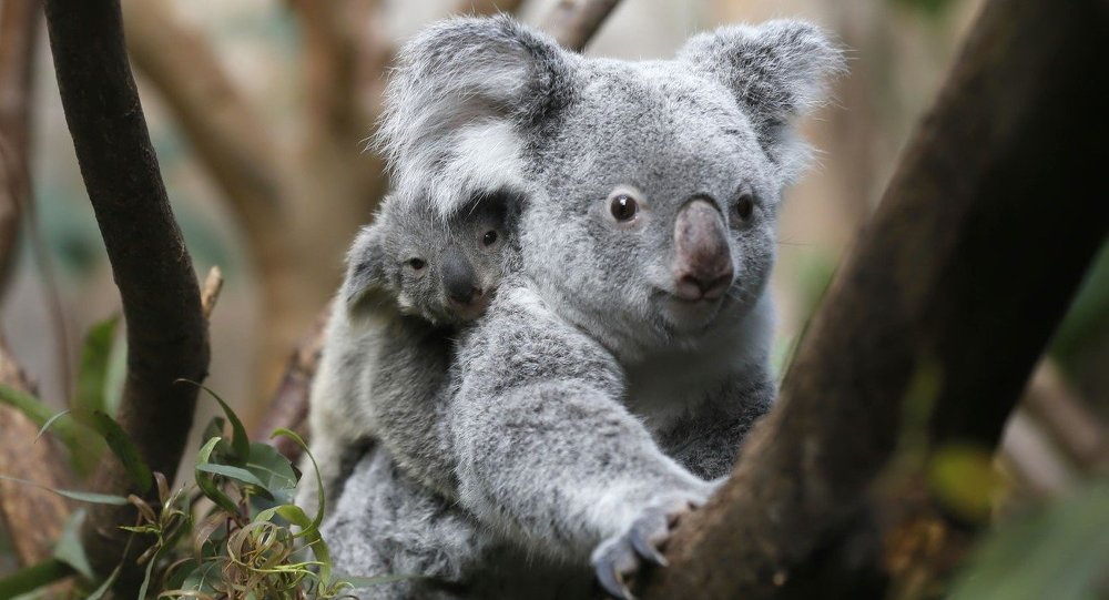 The yet unnamed male koala joey rides on his mother Goonderrah's back at the Zoo in Duisburg, western Germany