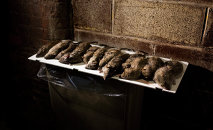 Rats are displayed in a lower Manhattan alley after being caught and killed by small hunting dogs