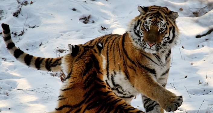 Amur tigers in Primorye safari park