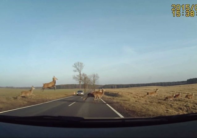 Herd of deer dangerously rush across highway