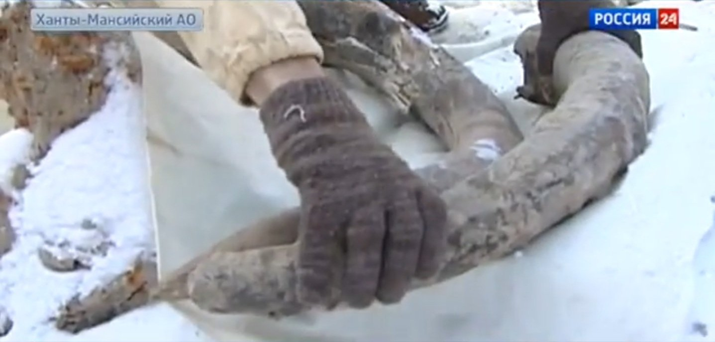 Oil workers in the Khanty-Mansi Autonomous Region have found the remains of a female woolly mammoth.