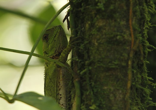 Woodlizard