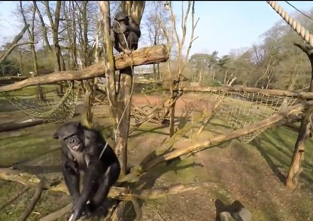 Drone Captured and Investigated By Chimps at Zoo