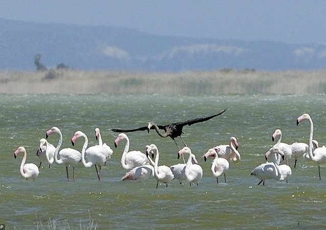 Scientists photograph what may be the only black flamingo in the world